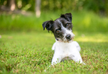 A cute black and white mixed breed dog lying in the grass 版權商用圖片