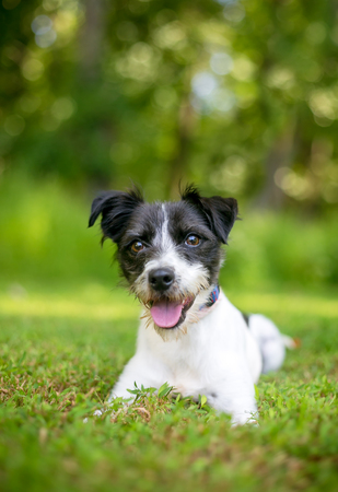 A cute black and white mixed breed dog lying in the grass Imagens