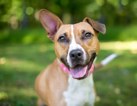 Portrait of a happy mixed breed dog with one erect ear and one floppy ear