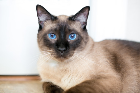 A purebred Siamese cat with seal point markings and bright blue eyes