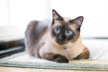 A purebred Siamese cat with seal point markings and blue eyes Stock Photo