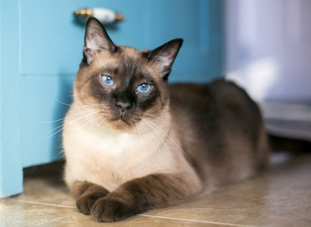 A purebred Siamese cat with seal point markings and blue eyes Banque d'images