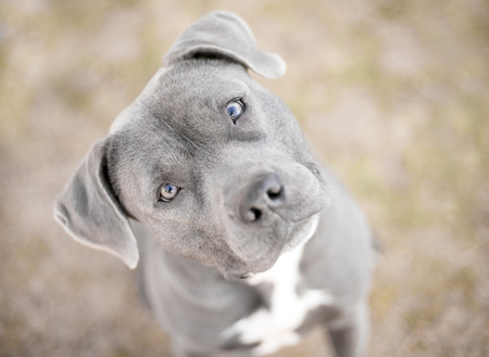 A Pit Bull Terrier mix dog looking up at the camera with a head tilt