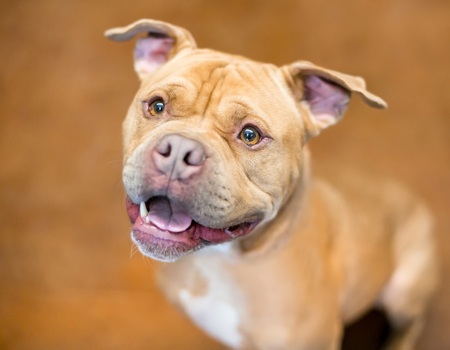A happy Pit Bull Terrier mixed breed dog looking up and smiling
