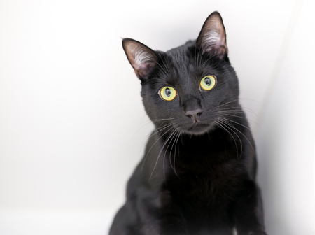 A black domestic shorthair cat with yellow eyes on a white background