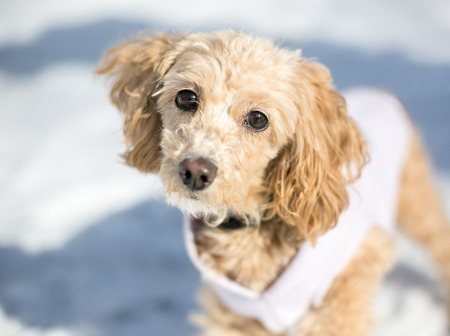 A Cocker Spaniel/Poodle mixed breed puppy wearing a sweater outdoors in the snow Stock Photo