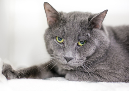A gray domestic shorthair cat with a grumpy expression Stock Photo