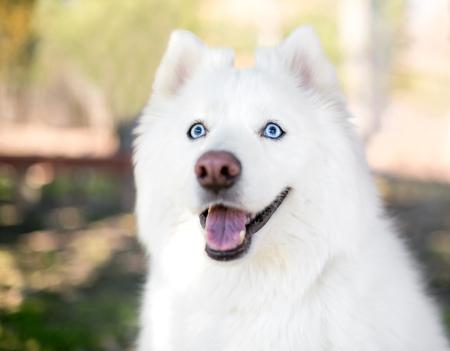 A fluffy purebred Samoyed dog with blue eyes 写真素材