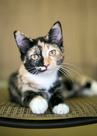 Portrait of a young Calico domestic shorthair kitten