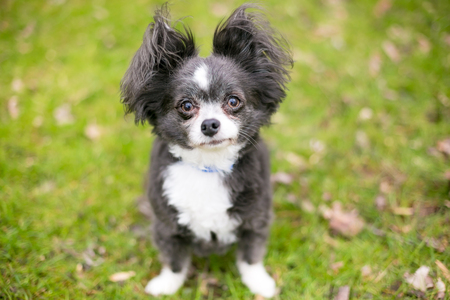 A Long-haired Chihuahua mixed breed dog with fluffy ears Imagens