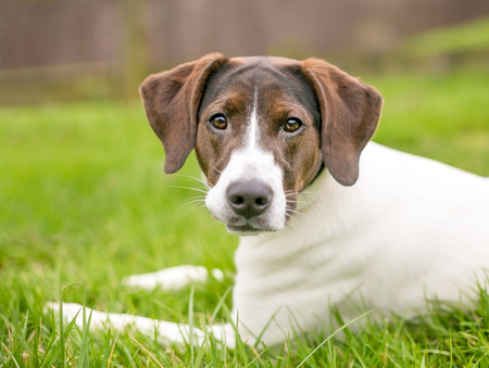 A brown and white Hound dog lying in the grass looking directly at the camera