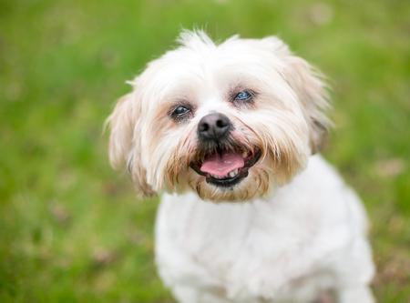 A Shih Tzu dog with cataracts in one eye