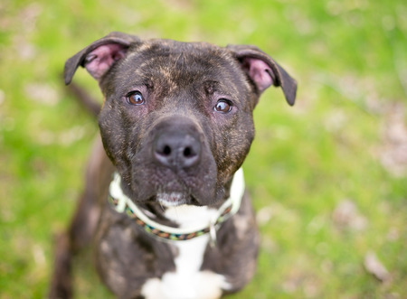 A brindle and white Pit Bull Terrier mixed breed dog looking up at the camera Stock Photo