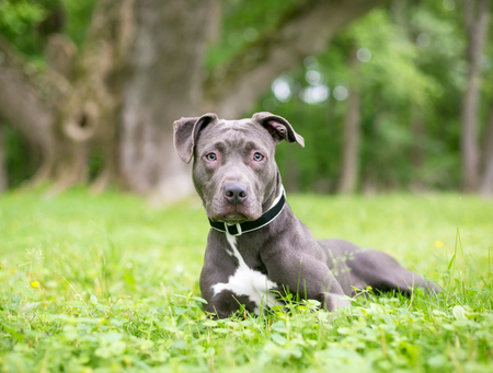 A blue and white Pit Bull Terrier mixed breed dog relaxing in the grass