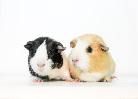 A pair of domesticated pet Guinea Pigs