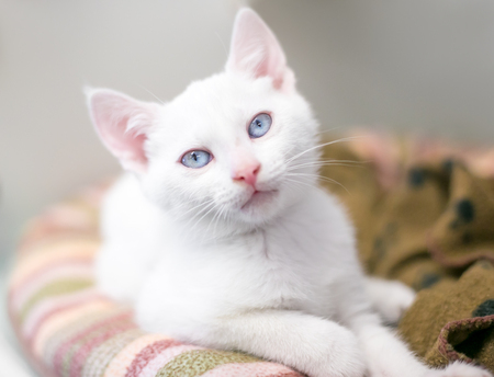 A white kitten with blue eyes relaxing on a cat bed Stock Photo