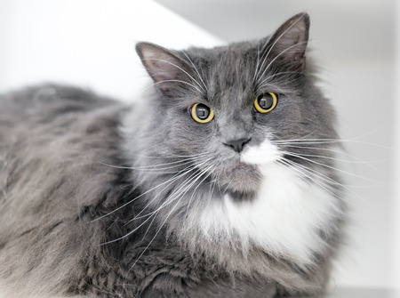 A gray and white domestic medium hair cat with large dilated pupils