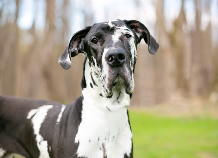 A black and white purebred Harlequin Great Dane dog outdoors