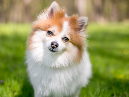 A red and white Pomeranian dog listening with a head tilt