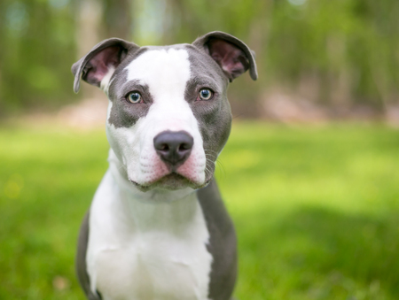 A young blue and white Pit Bull Terrier mixed breed dog outdoors 写真素材