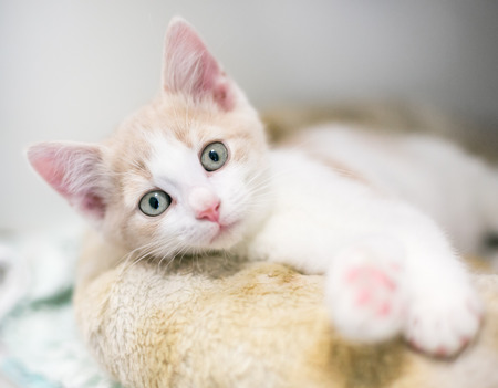 A cute domestic shorthair kitten relaxing on a cat bed