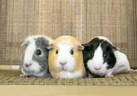 A group of three American Guinea Pigs cuddling together Banque d'images