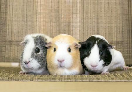 Eine Gruppe von drei amerikanischen Meerschweinchen, die zusammen kuscheln