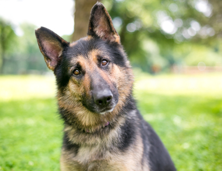 A friendly German Shepherd dog listening with a head tilt
