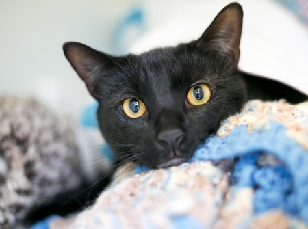 A black domestic shorthair cat with yellow eyes relaxing on a soft blanket