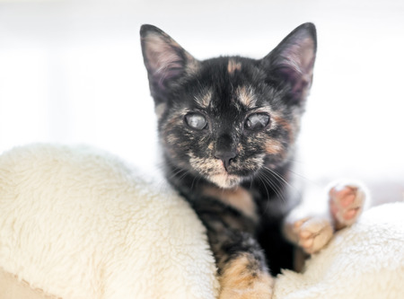 A blind tortoiseshell kitten with cloudy eyes