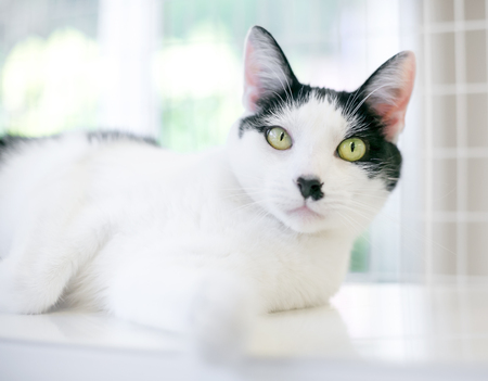 A black and white domestic shorthair cat lounging