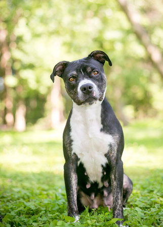 A black and white female Pit Bull Terrier mixed breed dog listening with a head tilt 版權商用圖片