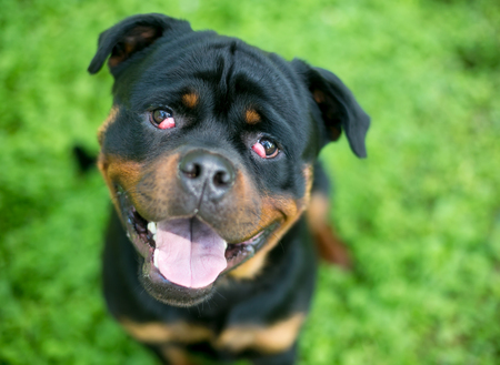 A purebred Rottweiler dog with nictitans gland prolapse or cherry eye in both eyes