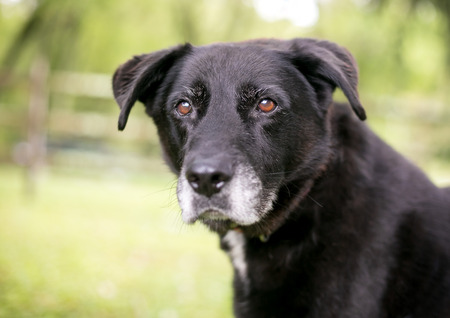 A black mixed breed senior dog with a gray muzzle Stock Photo