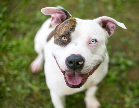 A brindle and white Pit Bull Terrier mixed breed dog with heterochromia, one blue eye and one brown eye Stock Photo