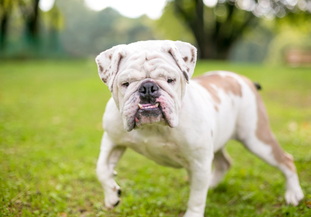 A purebred English Bulldog with an underbite Banque d'images - 101869851