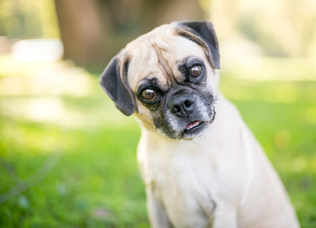 A Pug/Beagle mixed breed dog listening with a head tilt