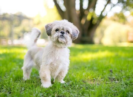 A cute Shih Tzu mixed breed dog outdoors