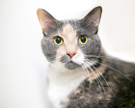 A dilute calico domestic shorthair cat with wide eyes and dilated pupils