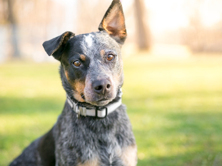 An Australian Cattle Dog outdoors Stock Photo