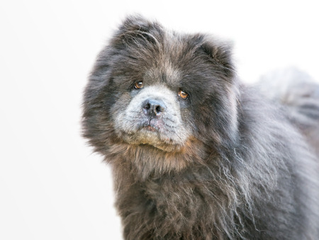 A purebred Chow Chow dog listening with a head tilt Stock Photo