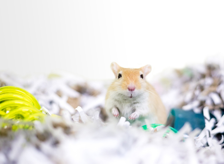 A pet gerbil in a nest made of shredded paper Stock Photo