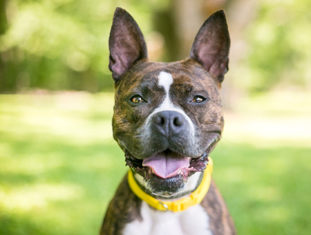 A brindle and white Boxer mixed breed dog with upright ears Stock Photo