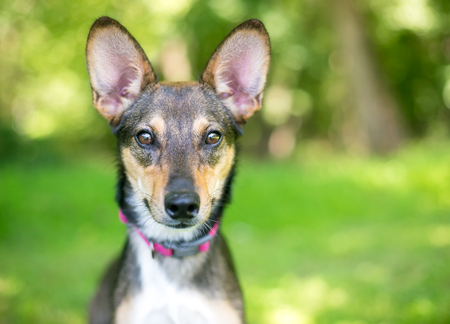 A mixed breed dog with comically large ears Reklamní fotografie