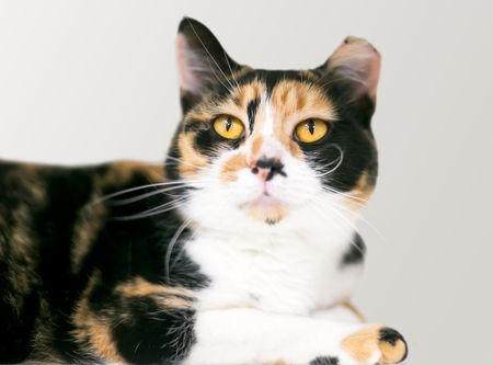 A Calico domestic shorthair cat with its ear tipped indicating that it has been spayed and vaccinated