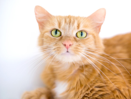 A furry orange tabby cat with long whiskers