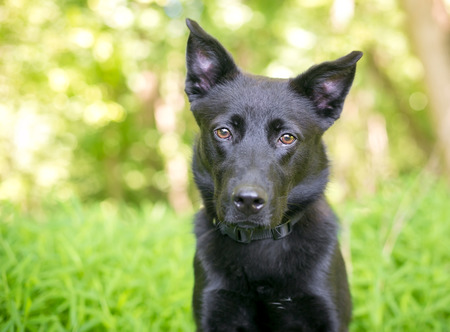 A black Shepherd mixed breed dog outdoors Stock Photo