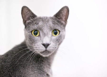A wide-eyed gray domestic shorthair cat with large yellow eyes and dilated pupils Stock Photo