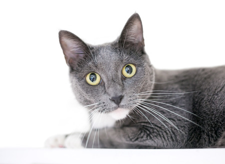 A gray and white domestic shorthair cat with yellow eyes on a white background