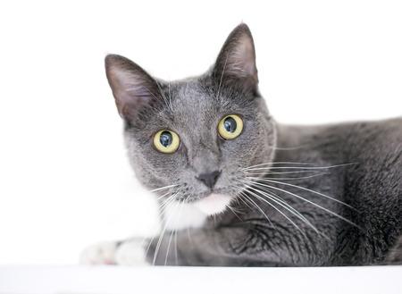 un gato atigrado gris y gris doméstico con ojos amarillos sobre un fondo blanco
